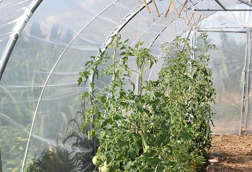 Bepflanzung im Römi Classic Folientunnel rankende Tomaten