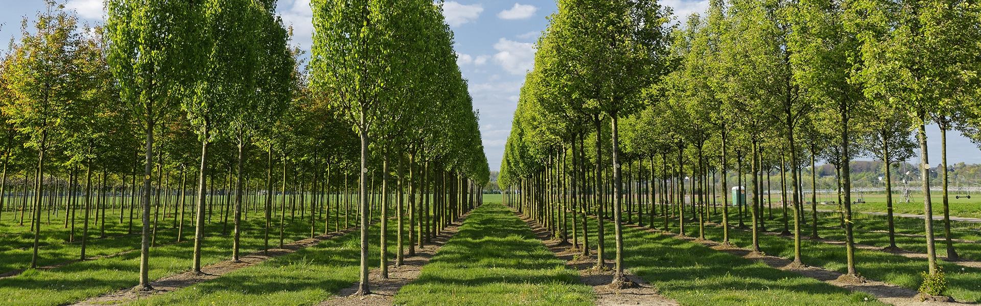 Baumschule junge Bäume